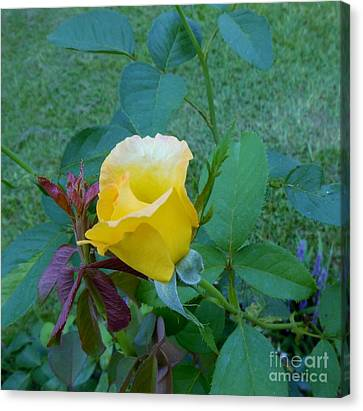 Baby Rose Of Texas Canvas Print by Eloise Schneider
