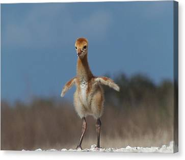 Canvas Print featuring the photograph Baby Sandhill Crane 071 by Chris Mercer