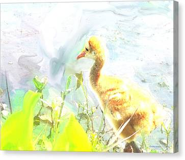 Baby Sandhill Crane Canvas Print