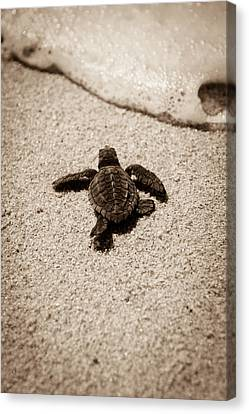 Canvas Print featuring the photograph Baby Sea Turtle by Sebastian Musial