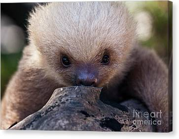 Baby Sloth 2 Canvas Print by Heiko Koehrer-Wagner