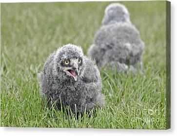 Baby Snowy Owls Canvas Print