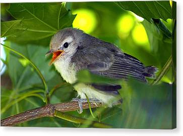 Baby Sparrow In The Maple Tree Canvas Print by Karon Melillo DeVega