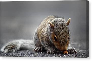 Baby Squirrel Gets A Snack Canvas Print
