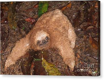 Baby Three-toed Sloth Canvas Print