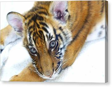 Baby Tiger Canvas Print by Steve McKinzie