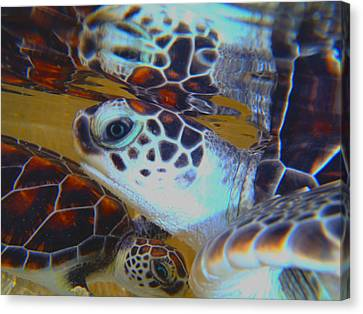 Baby Turtles Canvas Print by Carey Chen