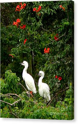 Baby White Egrets Canvas Print by Jeanne  Woods