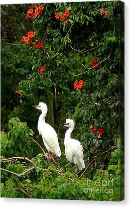 Baby White Egrets Canvas Print