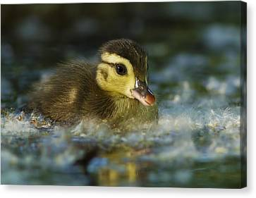 Baby Wood Duck Canvas Print by Mircea Costina Photography