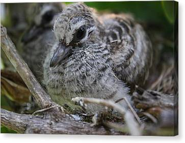 Birds Canvas Print - Baby Zebra Doves 2 by Kimberly Reeves