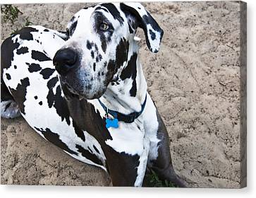 Bacchus The Great Dane Canvas Print by Sharon Cummings