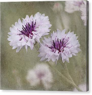 Bachelor Buttons - Flowers Canvas Print
