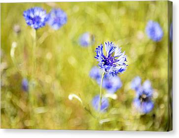 Bachelor Buttons Glowing Canvas Print
