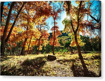 Backlit Wonderland - Lost Maples State Natural Area Texas Hill Country Canvas Print by Silvio Ligutti