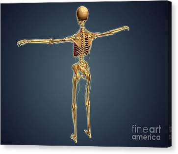 Back View Of Human Skeleton Canvas Print