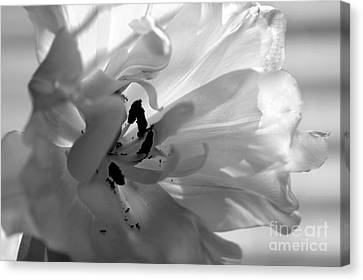 Backlit Black And White Tulip Canvas Print by Sharon Talson