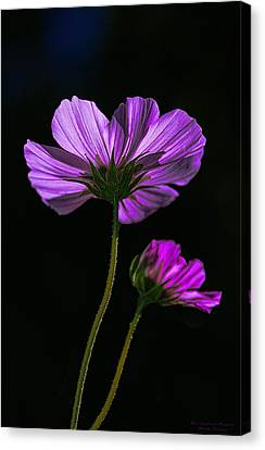 Canvas Print featuring the photograph Backlit Blossoms by Marty Saccone