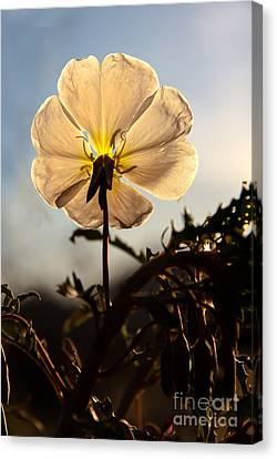 Backlit Evening Primrose Canvas Print by Robert Bales
