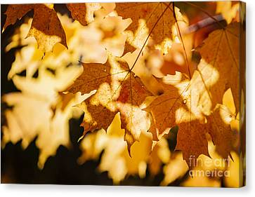 Backlit Fall Maple Leaves Canvas Print by Elena Elisseeva
