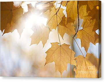 Backlit Fall Maple Leaves In Sunshine Canvas Print by Elena Elisseeva