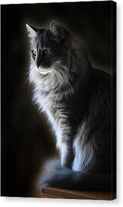Backlit Kitty Canvas Print by Carolyn Fletcher