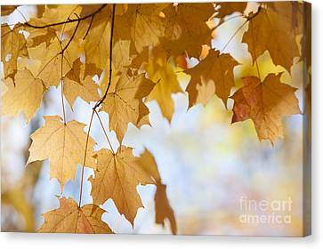 Maple Season Canvas Print - Backlit Maple Leaves In Fall by Elena Elisseeva