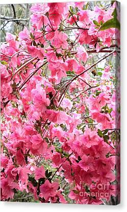 Backlit Rainy Azaleas Canvas Print