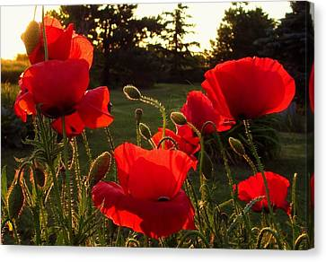 Backlit Red Poppies Canvas Print by Mary Wolf