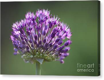 Backlit Sensation Canvas Print by Anne Gilbert