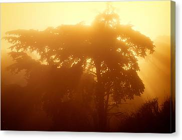 Backlit Tree In Fog Canvas Print by Chris Bordeleau