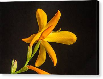 Backside Of Lily 1 Canvas Print