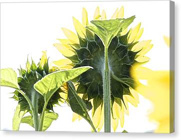 Backside Of Sunflower Canvas Print