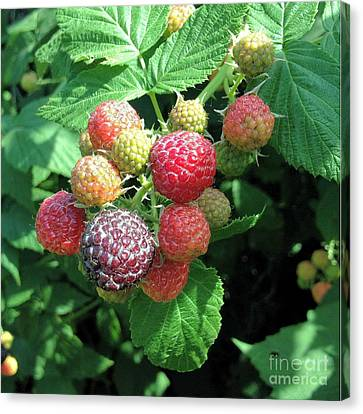 Canvas Print featuring the photograph Fruit- Black Raspberries - Luther Fine Art by Luther Fine Art