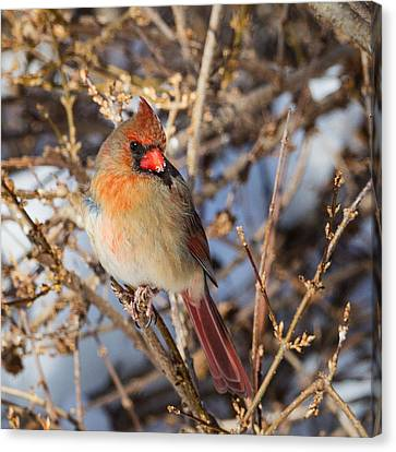 Cardinal Canvas Print - Backyard Birds Female Nothern Cardinal Square by Bill Wakeley