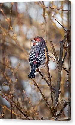 Backyard Birds House Finch Canvas Print by Bill Wakeley