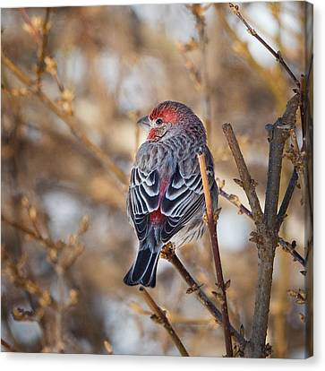 Square Canvas Print - Backyard Birds House Finch Square by Bill Wakeley