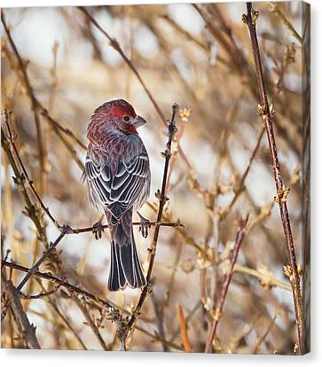 Backyard Birds Male House Finch Square Canvas Print by Bill Wakeley