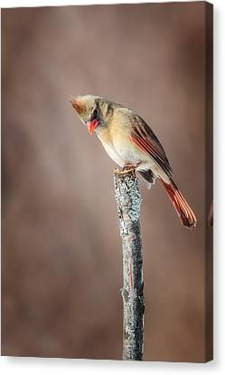 Backyard Birds Northern Cardinal Canvas Print