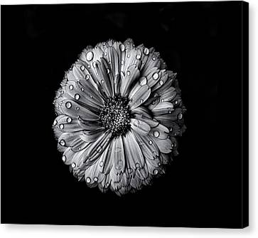 Backyard Flowers In Black And White 10 After The Storm Canvas Print by Brian Carson