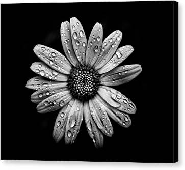 Backyard Flowers In Black And White 16 After The Storm Canvas Print by Brian Carson