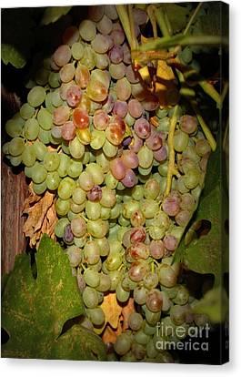 Backyard Garden Series -hidden Grape Cluster Canvas Print by Carol Groenen