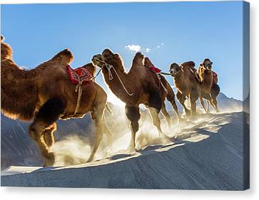 Camel Canvas Print - Bactrian Or Double Humped Camels by Peter Adams