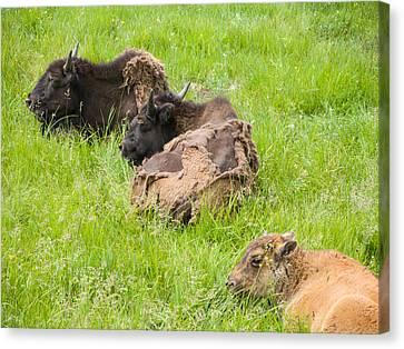 Bison Bad Fur Day Canvas Print