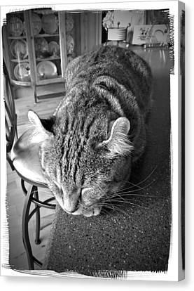 A Gray Tabby Highlander Lynx Cat Asleep On The Kitchen Counter Canvas Print - Bad Cat by Susan Leggett