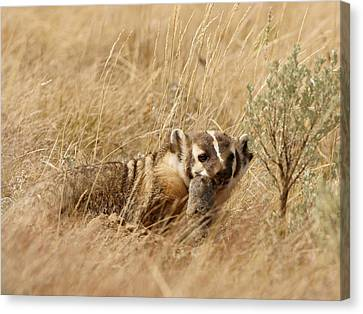 Badger With Prey Canvas Print