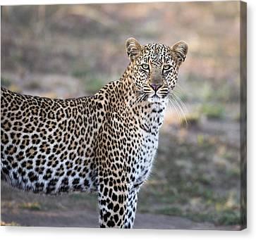 Bahati The Leopard In The Masai Mara Canvas Print