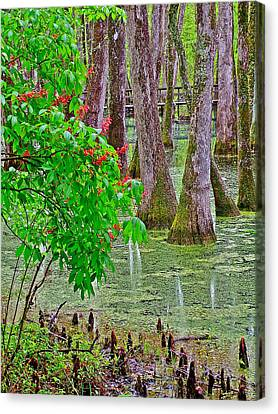 Bald Cypress And Red Buckeye Tree At Mile 122 Of Natchez Trace Parkway-mississippi Canvas Print by Ruth Hager