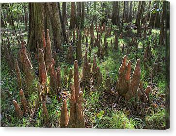 Bald Cypress Knees In Congaree National Park Canvas Print by Pierre Leclerc Photography