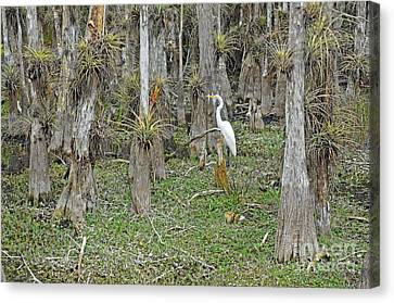 Bald Cypress Swamp With Great Egret Canvas Print by John Serrao